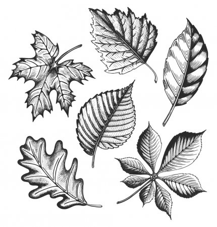 Illustration for Autumn leaves set in a sketch style. Vector illustration isolated on white background. - Royalty Free Image
