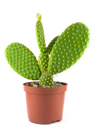 Photo for Potted globe cactus isolated over white background - Royalty Free Image