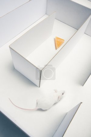 Mouse inside a labyrinth searching the maze for cheese