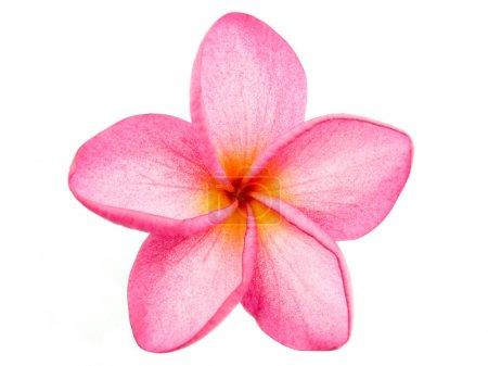 Photo pour Rose Frangipani Plumeria fleur sur fond blanc - image libre de droit