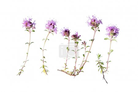 Wild thyme isolated on white