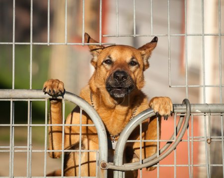Guard Dog Looking Out from Behind a Wire Gate