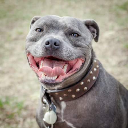 Head of Staffordshire Bull Terrier with Mouth Open