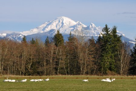 Trumpeter Swans and Mount Baker
