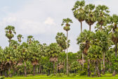 Sugar palm trees surrounded with rice field