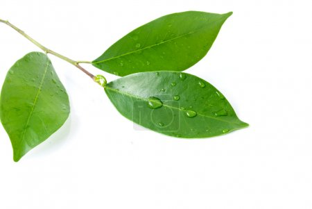 Photo for Leaf and water drop on the white background - Royalty Free Image
