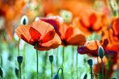 Gyönyörű mák virág