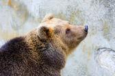 Barna medve az állatkertben