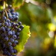 Large bunche of red wine grapes hang from a vine, ...