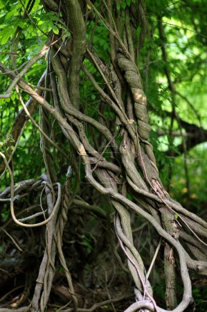 Photo for Twisted tropical tree roots in rain forest - Royalty Free Image