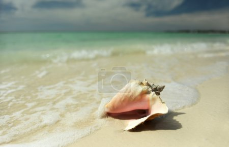 coquillage conque rose