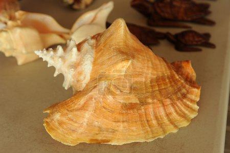 Photo for Con shells at Bahamas as souvenirs - Royalty Free Image