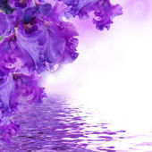 Violet irises against a green grass, a summer butterfly