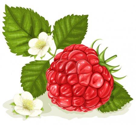 Illustration pour Illustration vectorielle de framboise aux feuilles et fleurs . - image libre de droit
