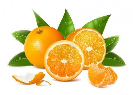 Vector fresh ripe oranges