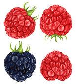 Vector illustration of raspberries & blackberry No mesh no gradient