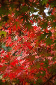 Autumnal maple leaves in blurred background, red foliage, sunlig
