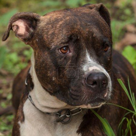 Face of Pitbull dog