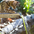 Young Bengal Cat playing with Water at the Pond. V...