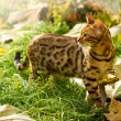 Bengal Cat playing in Garden. Autumn with many Lea...