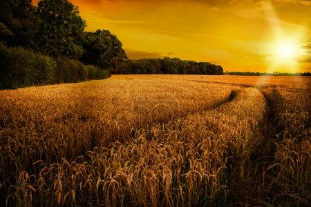 Photo pour Mûrissement du blé à la fin de l'été soleil dans les champs du Shropshire, Royaume-Uni - image libre de droit