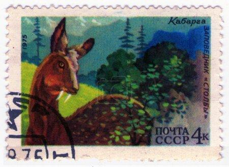 USSR - CIRCA 1975: musk deer