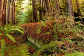 Fallen Redwood Tree Lies Decaying On Forest Floor