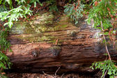 Fallen Redwood Tree Decays In Forest