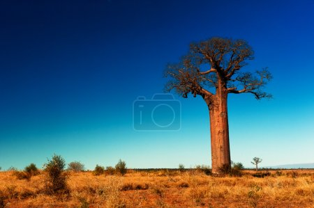 Дерево баобаб на Мадагаскаре