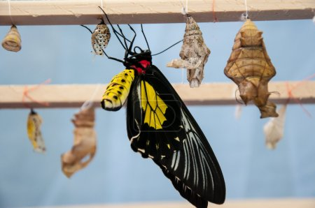 Transformation of the chrysalis to Butterfly Troides Rhadamantus