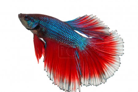 Siamese fighting fish , betta isolated with clipping path included