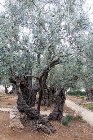 Photo pour Un arbre dans le jardin de Gethsémani, où Jésus a prié avant la crucifixion. - image libre de droit