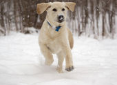 Rudy the Yellow Lab puppy Jumping in the falling snow