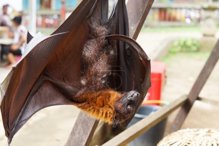 Flying fox hanging on a wooden frame
