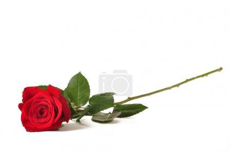 Photo pour Rose de la seule tige longue rouge sur fond blanc - image libre de droit