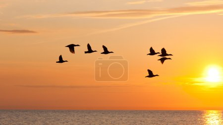 Photo for Eight birds flying in the golden sky by the sea at birds travelling season - Royalty Free Image