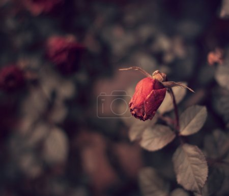 Photo for Dead red roses in winter - Royalty Free Image