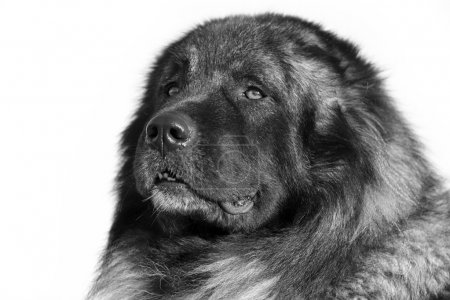 Caucasian Shepherd dog black and white portrait...