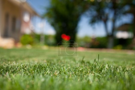 Green grass close up in the backyard