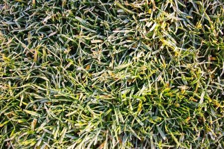 Frozen green grass. Winter time.