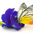 Blue Butterfly Pea on white background...