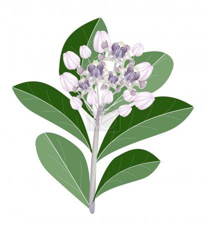 A Group of Fresh Calotropis Gigantea Flowers
