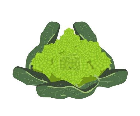 Fresh Romanesco Broccoli Cabbage on White Background