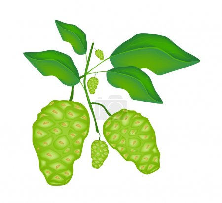 Green Noni or Morinda Citrifolia Fruit on A Tree