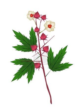 Fresh Hibiscus Sabdariffa Plant on White Background