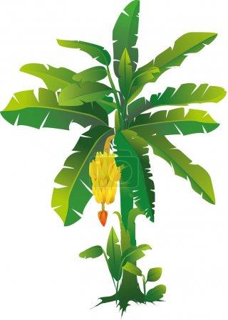 Illustration for Vector illustration of banana tree - Royalty Free Image