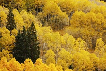 Photo pour Tremble avec la couleur de l'automne, san juan national forest, colorado, Etats-Unis - image libre de droit