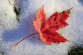 Close up of red maple leaf