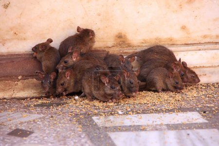 Holy rats running around Karni Mata Temple, Deshnok, India