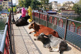 Cows laying on a bridge, Udaipur, India